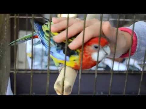 Розелл попугаи в домашних условиях