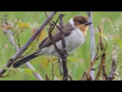 Aves de Venezuela - Aves de Barinas 1