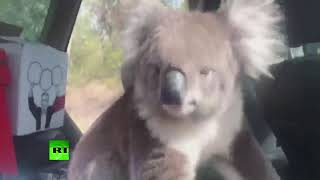Koala found its way into the car to cool off and chill - RUSSIATODAY