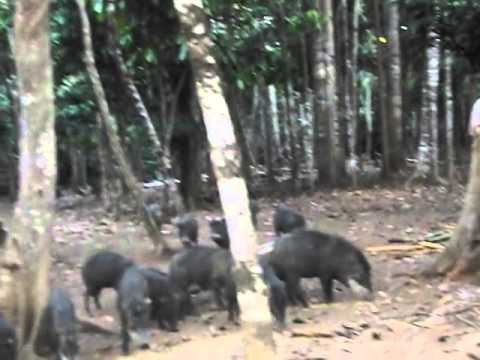 frei Raphael Tratando e correndo dos Porcos do Mato na Porta de Casa...