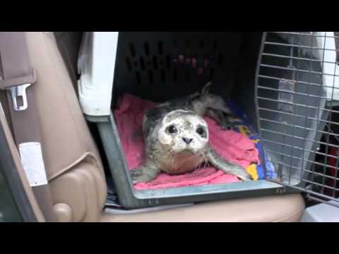 Alaska Seal Pup Rescue