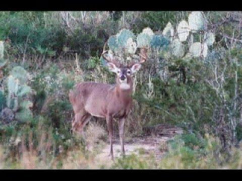 Field Aging Texas Whitetail Bucks