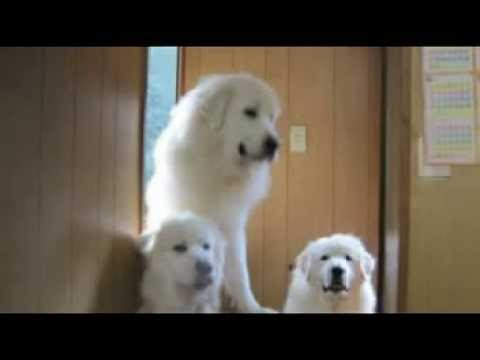 white noel.comグレートピレニーズニューファンドランド専門犬舎0120-888-628