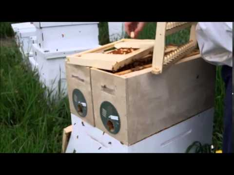 Queen rearing - Adding young larvae to the starter colony.