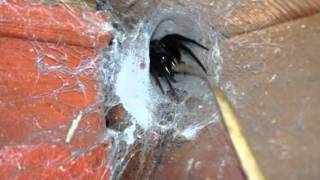 فيديو.. رجل يكتشف عش عنكبوت ضخم في منزله | المصري اليوم