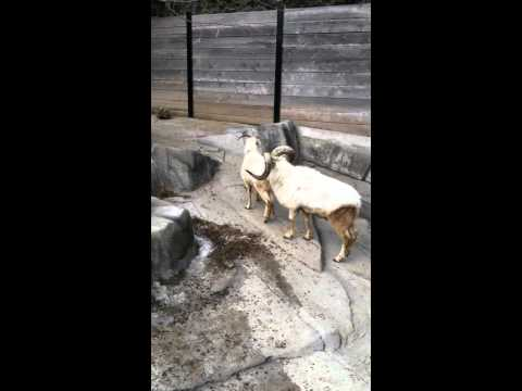 Mountain goats mating at Milwaukee zoo