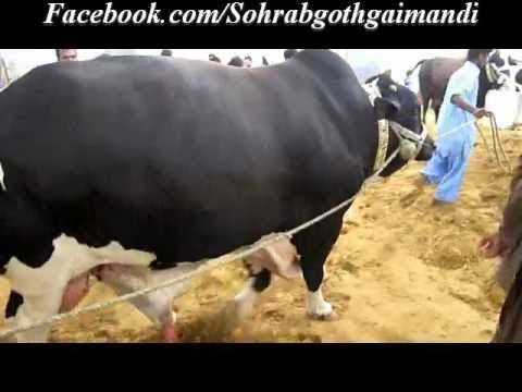 Cow Mandi 2013 Video On Dailymotion