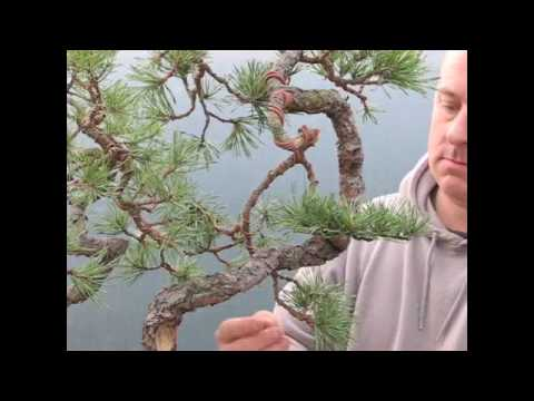 Bonsai Tree Demonstration - Yamadori Scots Pine