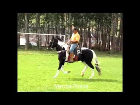 Cavalo Mangalarga Marchador e Pampa de Marcha Picada: