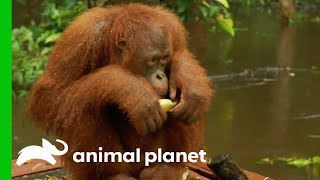 Mangis Is Getting Picked On By An Orangutan 'Girl Gang' | Orangutan Island - ANIMALPLANETTV