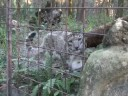 Meet the LEOPARDS of Big Cat Rescue!