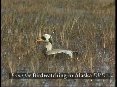 Birdwatching in Alaska
