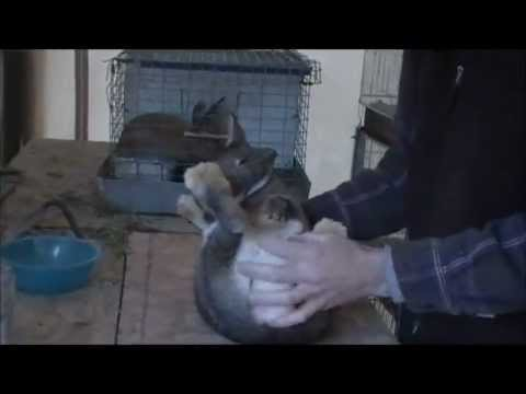 SEXING RABBITS.wmv