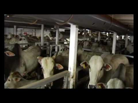 1/2 - Transporte de bovinos vivos para o abate - rota Brasil - Líbano