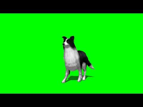 sheep dog  walk - greenscreen effects