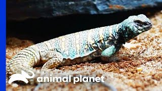 Dinosaur Themed Enclosure For Two Gorgeous Uromastyx Lizards | Scaled - ANIMALPLANETTV