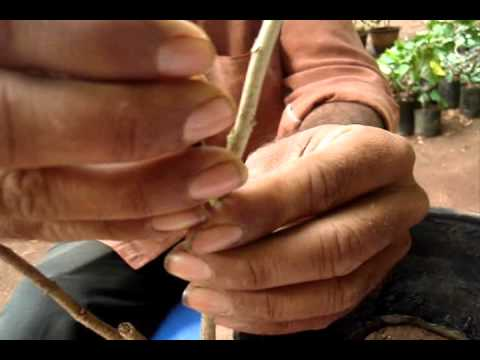 Grafting methods and techniques.wmv