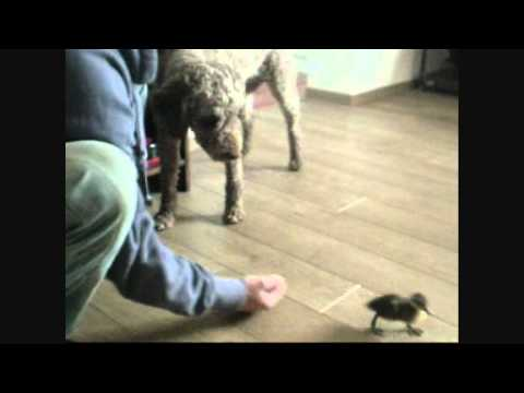 El perro y el pato: socialización de un perro adulto a una cria de pato