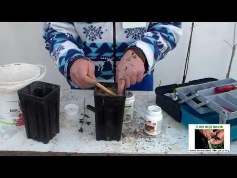 Come fare talea legnosa ulivo - Il sito degli Innesti