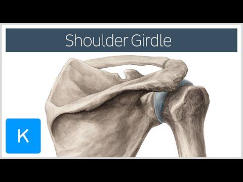 Shoulder (Pectoral) Girdle - Muscles and Movements - Human Anatomy |Kenhub