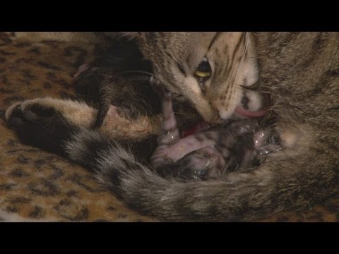 *GRAPHIC* Mother Cat Giving Birth To A Litter Of 4 Kittens