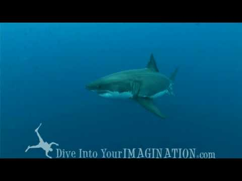 Great White Sharks - Cage Diving - Lawrence Groth
