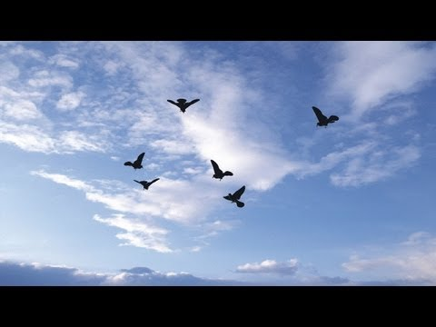 green screen effect - Flock of birds flying in the sky