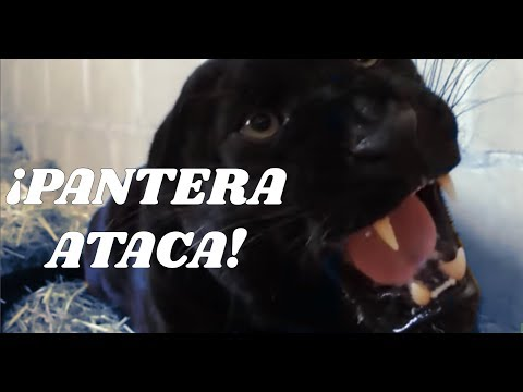 pantera negra atacando