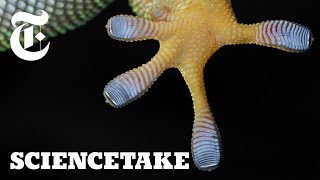 Harnessing the Power of Gecko Feet | ScienceTake - THENEWYORKTIMES
