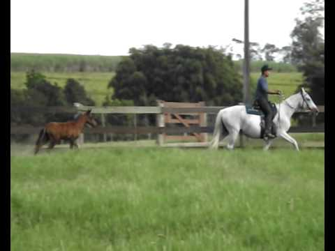 Cavalo Mangalarga Marchador - Origem do Conforto - Cavalos Harashct