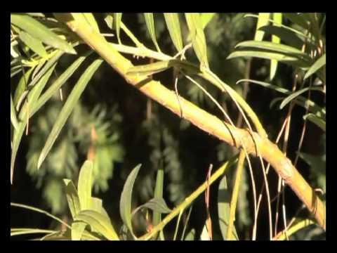 Podocarpo en el Real Jardín Botánico, CSIC