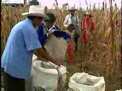 Ventana a mi Comunidad / Mazahuas, cosechando y saboreando