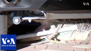Alligator gives Texas family a fright - VOAVIDEO