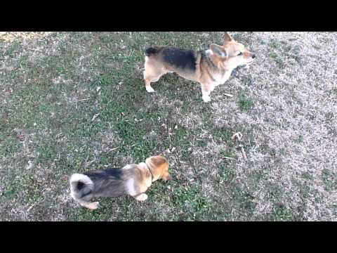 Swedish Vallhund Puppy Corgi Wrestling