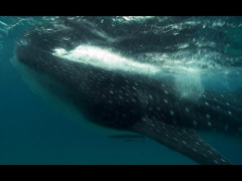 Whale Shark Dive - Deadly 60 - BBC