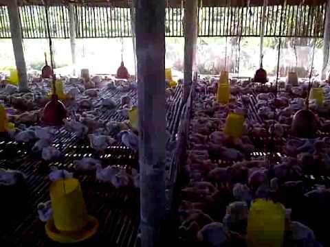 ternak ayam broiler PANEN BOBOT 2kg dalam waktu 30 hari VIDEO 0