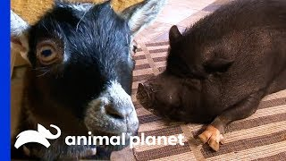 A Micro-Pig Or A Pygmy Goat: Which Farmyard Pet Would You Choose? | Pets 101 - ANIMALPLANETTV