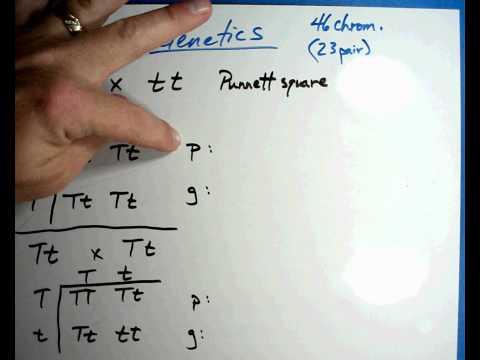 Biology #7 B - Punnett squares.wmv