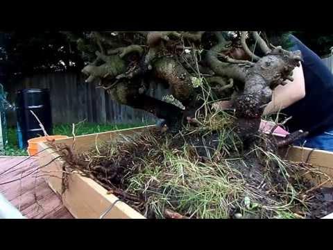 Pre-Bonsai/Yamadori mugo pine repotted in training pot. Part 1