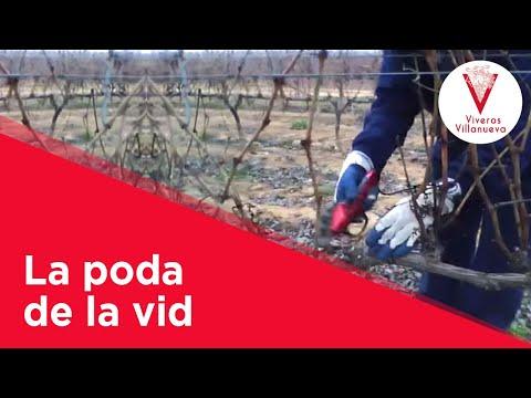 La poda de la vid en Viveros Villanueva Vides