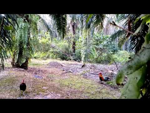 Ayam hutan PS 6