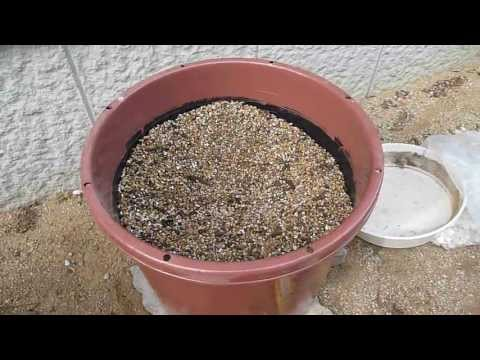 How to repot Beaucarnea recurvata (5/8) Spring 2011