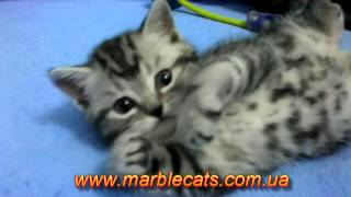 Питомник предлагает британских котят черный мрамор