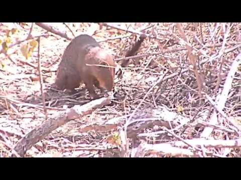 Animal YALA  Mongoose Just Caught Bird safari topten@world