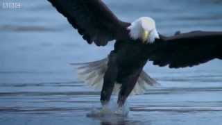 A bird of prey's deadly grip - The Wonder of Animals: Episode 12 Preview - BBC Four - BBC