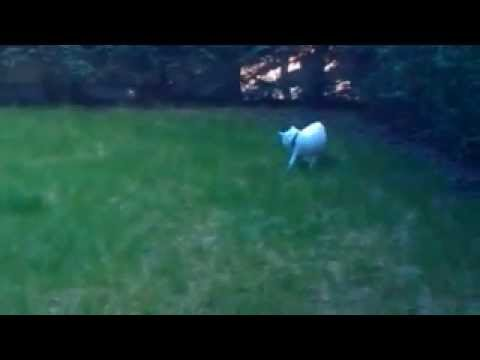 Cat goes grazy chasing tail