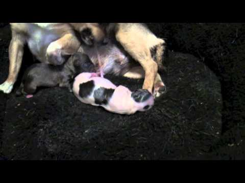 Birth of 3 Chihuahua pups (PG) graphic for small children