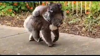 Baby Koala Takes Stroll With Mom - ABCNEWS