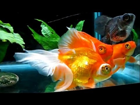 Butterfly and Veiltail Telescope Goldfish