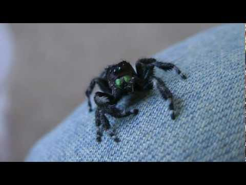 Jumping Spider So Cute When Drying Herself